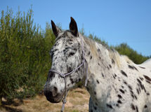Horse Appaloosa Royalty Free Stock Photo
