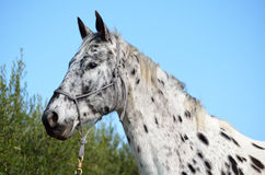 Horse Appaloosa head. A spotted Appaloosa horse head with rope halter on Royalty Free Stock Photography