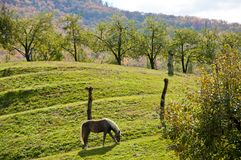 A horse and an apple orchard beneath a mountain Stock Images