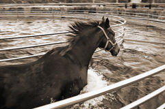 Horse in aqua walker Royalty Free Stock Photography