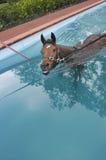 Horse aquatic training stock images