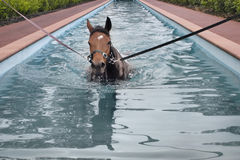 Horse aquatic training Royalty Free Stock Photography