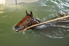 Horse aquatic training Stock Photos