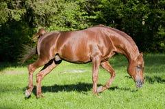 Horse arab run chestnut royalty free stock photography