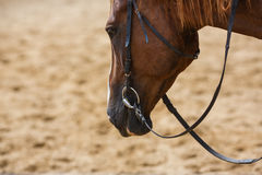 Horse on the arena Stock Photo