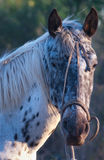 Horse in Argentina Royalty Free Stock Images
