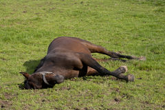 Horse is asleep in the paddock