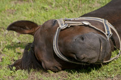Horse is asleep in the paddock Stock Photos