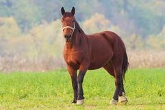 Horse in autumn Royalty Free Stock Photography