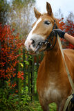 Horse in autumn background. Closeup Stock Image