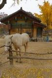 Horse in autumn color at Namsangol traditional folk village, Seoul, South Korea- NOVEMBER 2013 Royalty Free Stock Images