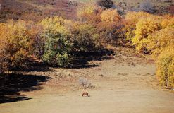 A horse in autumn prairie. A horse in prairie in autumn stock photo