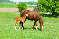 Horse with a baby foal Stock Photography
