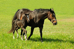 A horse with a baby foal Royalty Free Stock Image
