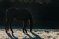 Horse. Back lit by early morning sunlight causing a stunning silhouette on a frosty sunny day royalty free stock image