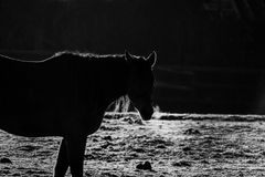 Horse. Back lit by early morning sunlight causing a stunning silhouette on a frosty sunny day in black and white stock photo