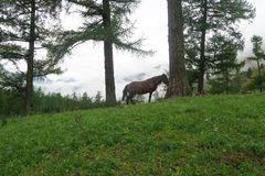 Horse on the background of misty mountains and forest view. Altai Mountains, Russia royalty free stock photos
