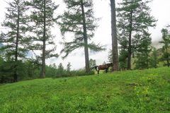Horse on the background of misty mountains and forest view. Altai Mountains, Russia stock image