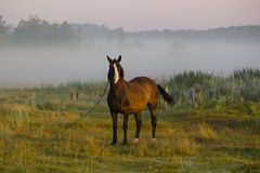 A horse on a background of morning fog. Royalty Free Stock Photo