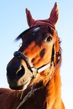 Horse with bandaged ears Royalty Free Stock Photography
