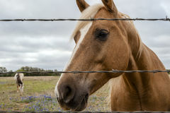 Horse at barbed wire fence Stock Photo