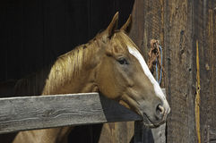 Horse in Barn Royalty Free Stock Photo