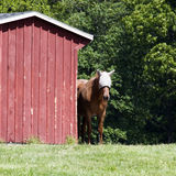 Horse by Barn Stock Images