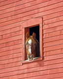 Horse in the Barn. A chestnut horse with white markings looking out of a red New England barn window Royalty Free Stock Images
