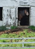 Horse in a barn. Clydesdale horse in a barn behind a rustic fence in auburn maine royalty free stock photos