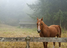 Horse and Barn. A horse enjoys a foggy summer morning with a barn in the background Stock Images