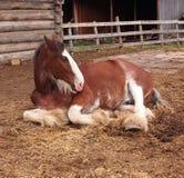 Horse In Barnyard. Horse resting quietly in in barnyard Royalty Free Stock Photos