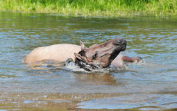 Horse bathing. Horse taking bathe in the river stock photos