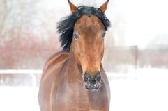 Horse bay color portrait in winter Stock Photo