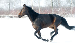 Horse bay color running on white snowy fiel Royalty Free Stock Photo
