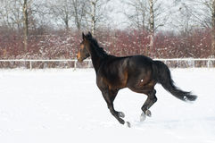 Horse bay color running on white snowy fiel Stock Photos