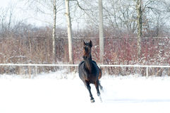 Horse bay color running on white snowy field Stock Images