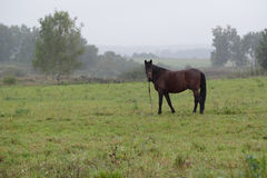 Horse. Bay horse on summer pasture Stock Photos