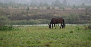 Horse. Bay horse on summer pasture Royalty Free Stock Images