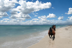 Horse on beach. One wild horse galloping on a beach by the ocean Royalty Free Stock Photography