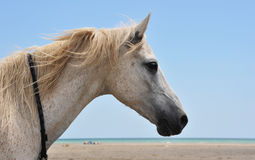 Horse on the beach. Portrait of an arabian horse on the beach Royalty Free Stock Photo
