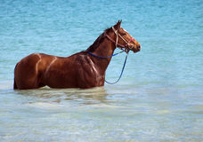Horse at the beach. Beautful racehorse  horse at the beach Stock Image