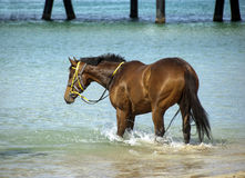 Horse at the beach. Beautful racehorse  horse at the beach Royalty Free Stock Photo