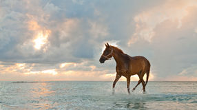 Horse on the beach. Beautiful horse trotting on the beach at sunrise Royalty Free Stock Photo