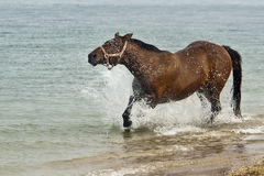 Horse on the beach. Bay horse running on the beach Royalty Free Stock Photos
