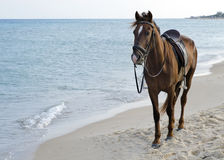 Horse on beach. Brown horse standing on a sand beach by a sea or ocean Stock Photo