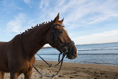 Horse on the beach at evening Royalty Free Stock Photos