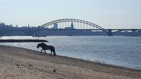 Horse on the beach in Nijmegen. A horse walking on the beach in Nijmegen Royalty Free Stock Image