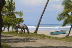 Horse on the Beach. A tropical, Pacific beach with palms, a beached blue boat and a wild, grazing horse Stock Images
