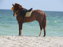 Horse on the beach in Tunisia, Africa on a clear day against the blue sea stock image