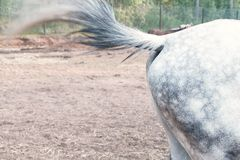 Horse beats a tail on the body, waving off insects. Horse beats a tail on the body, waving off insects stock photos